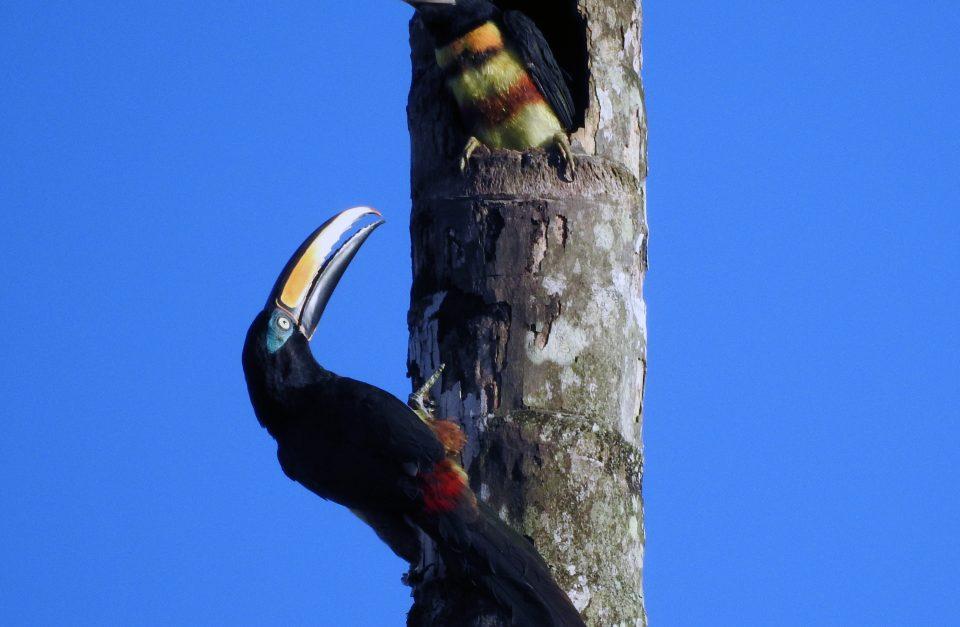 Amazon Birdwatching – Yasuni Tour