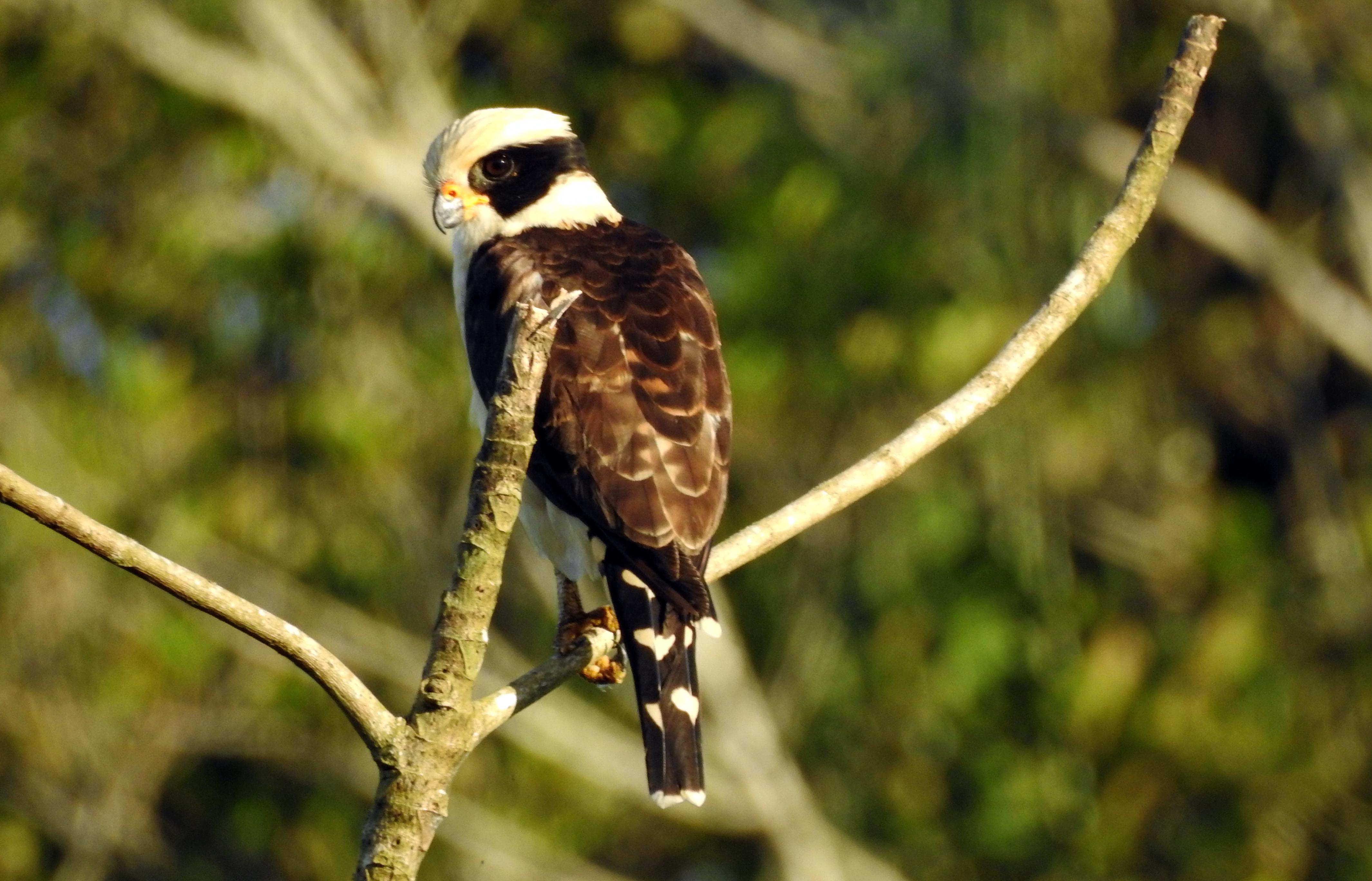 Laughing Falcon Ecuador